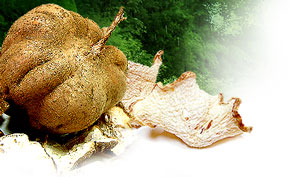 Tuber of the Pueraria mirifica